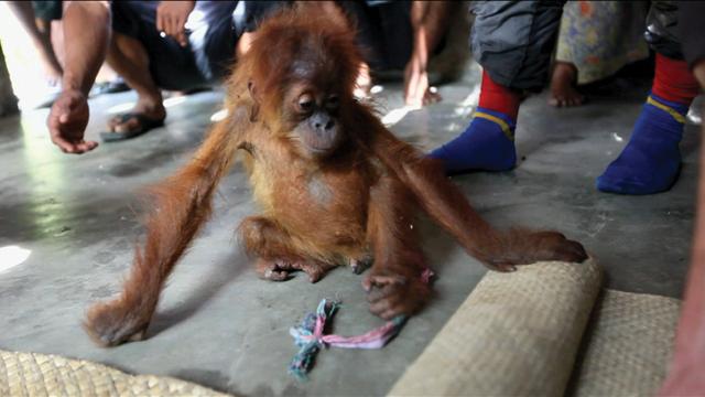 Ape Rescue