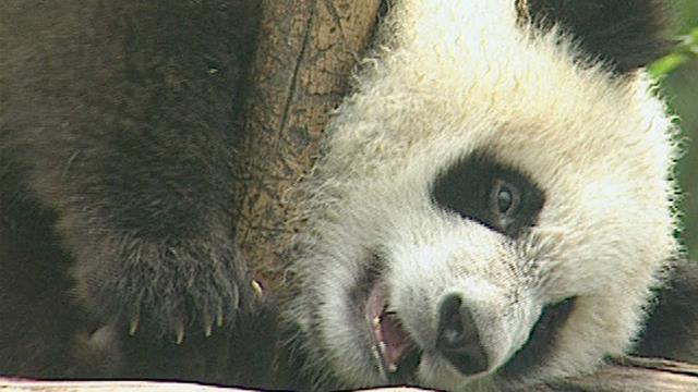 Panda's Basic Instinct