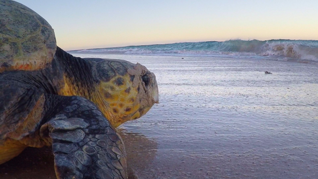 The Mystery of Gnaraloo Sea Turtles