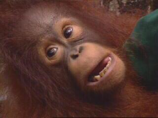 Borneo Apes