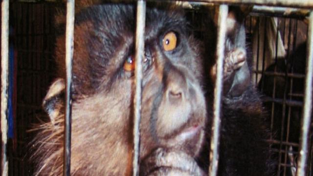 Ape Smuggling