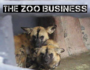 Zoo Business: the search for the missing wild dogs