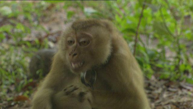Monkeys' Coconut Business