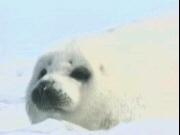 New Seal Hunt