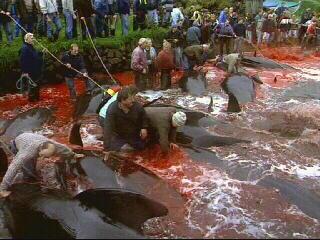 Faroe Whale Cull