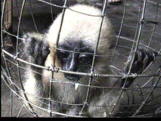 Vietnam - The trade in Wild Macaque Monkeys